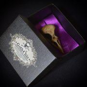 GOTHIC ODDITIES  - NEW Raven Skull - Aged bone color resin  - Goth Oddity home decor.