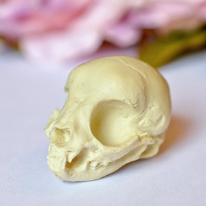 Kitten Skull replica with customizable handmade certificate and gift box - natural bone color -